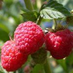 8686 Як підвищити врожайність малини