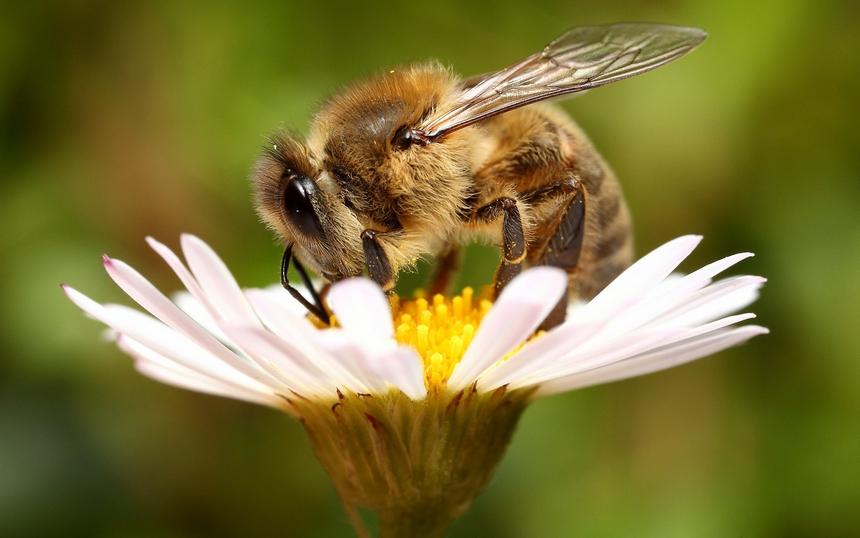 Алергія на укуси бджіл і користь отрути для людини