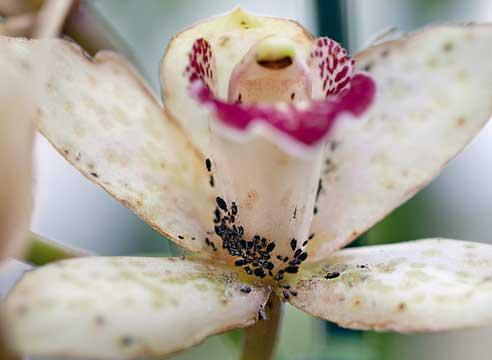 8762 Попелиця на орхідеї: способи, що допомагають боротися з тлею