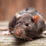 8787 Засоби ефективної боротьби з пацюками