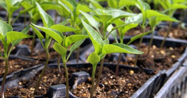 Як боротися з цвіллю в розсаді?