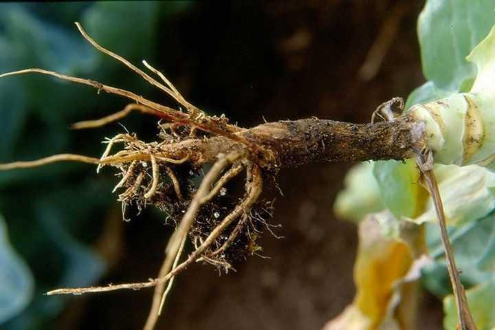 Що таке чорна ніжка, причини захворювання і способи лікування