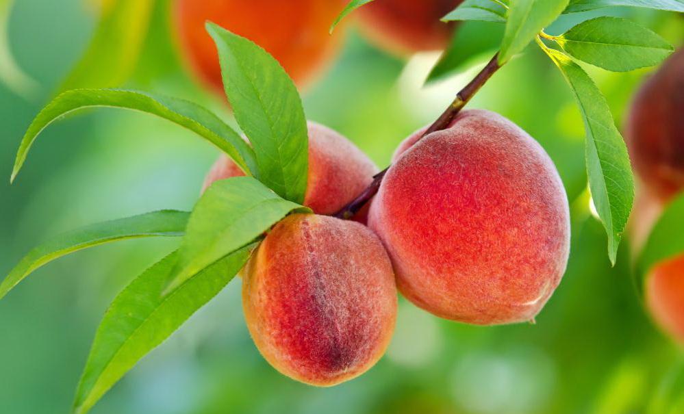 8850 Персик: шкідники і хвороби листя, плодів персика