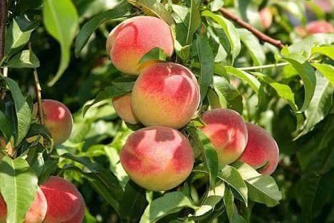 Персик: шкідники і хвороби листя, плодів персика
