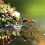 8871 Як вивести мурах з городу