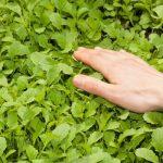 8900 Що таке зелені добрива (сидерати)