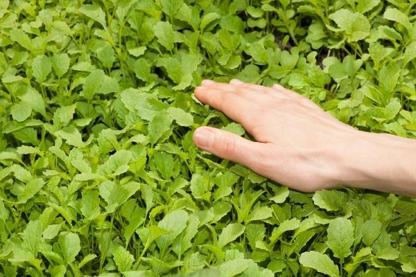 Що таке зелені добрива (сидерати)