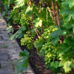 8916 Підживлення винограду восени і навесні