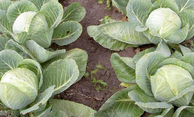 Обробляємо капусту від шкідників: перелік народних засобів
