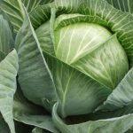 8923 Обробляємо капусту від шкідників: перелік народних засобів
