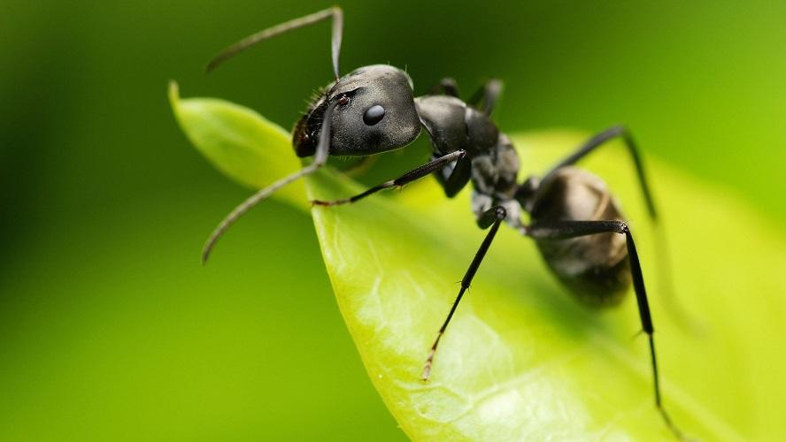 8929 Як позбутися від мурашок в саду та городі