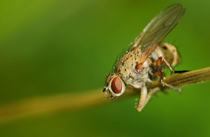 Цибулева муха: як позбутися народними засобами