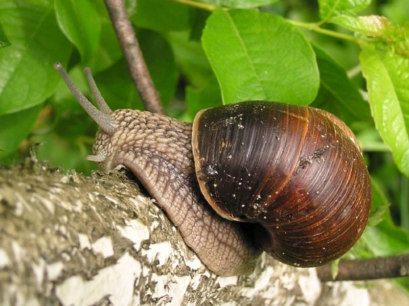8986 Як боротися зі слимаками в городі: народні засоби і препарати