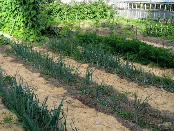 Тирса для добрива і мульчування городу