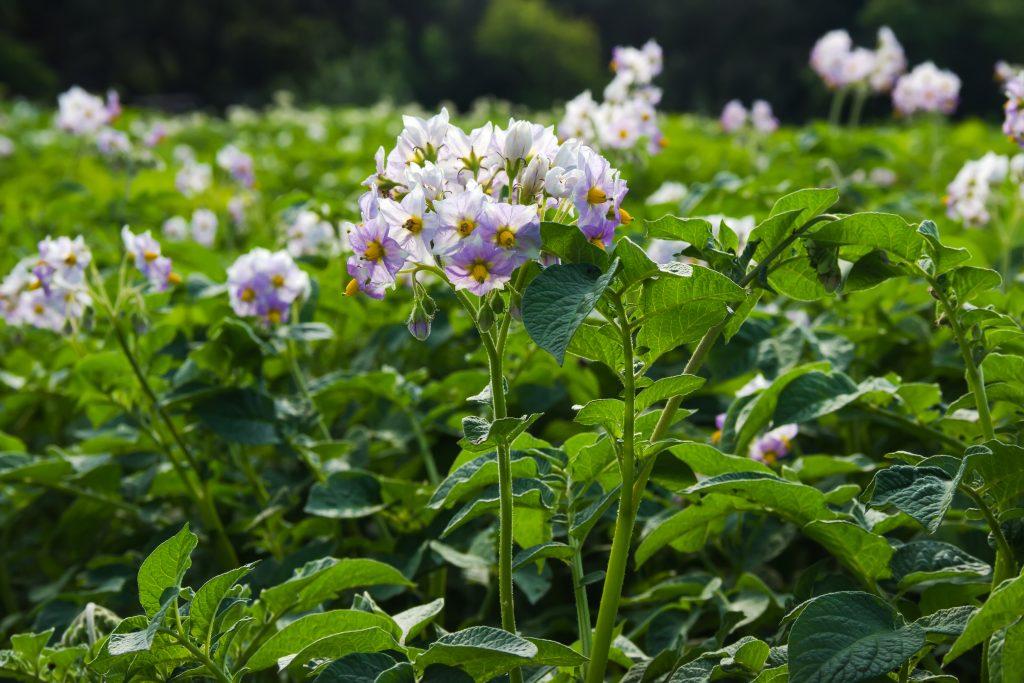 9330 Схема підгодівлі картоплі – догляд та вирощування картоплі