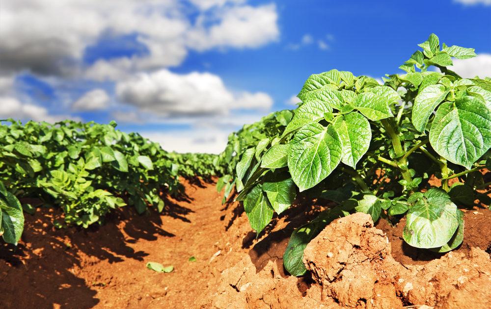Схема підгодівлі картоплі – догляд та вирощування картоплі