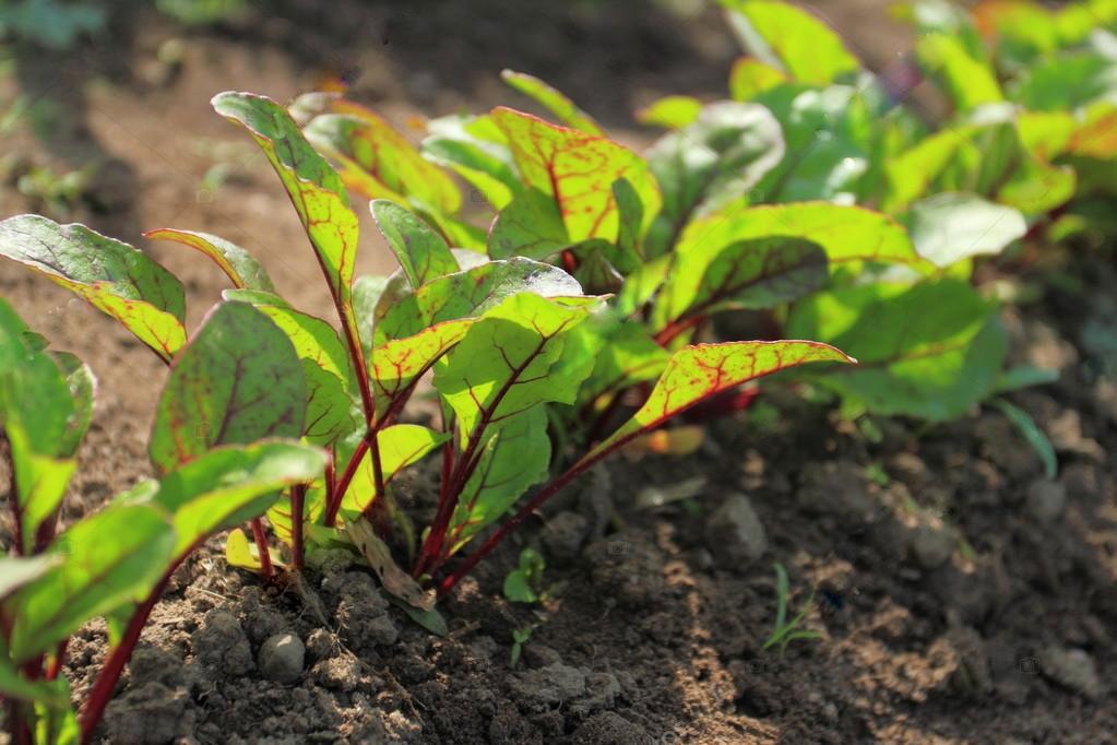 9349 Схема підгодівлі буряка – чим удобрювати, як підвищити врожайність