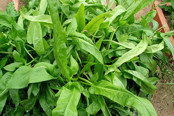 Бадилля рослин як добриво – як застосовувати на грунті, користь і властивості