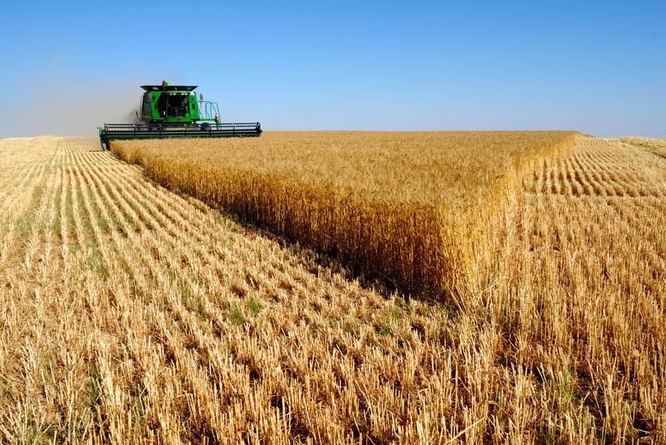 Чим підгодувати пшеницю – схема внесення добрив під рослину