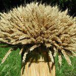 9386 Чим підгодувати пшеницю – схема внесення добрив під рослину