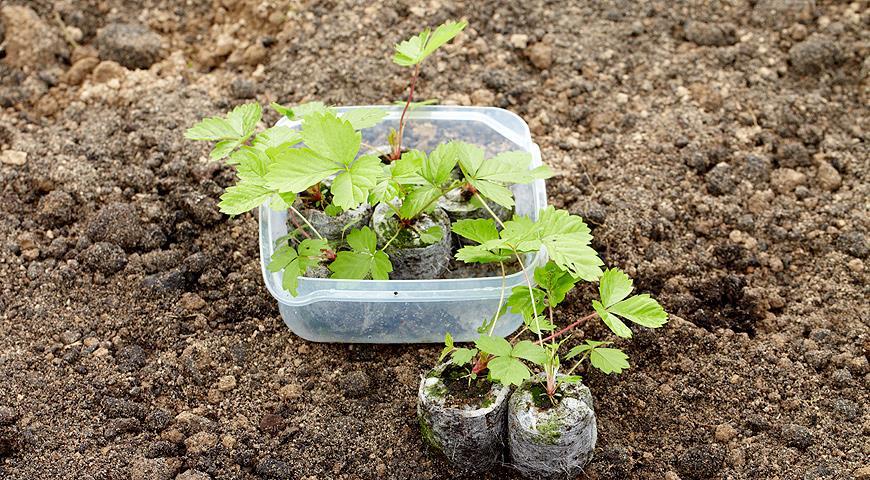 Торф і торф'яні таблетки для розсади – як використовувати