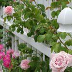 9398 Підживлення троянд – які добрива використовувати, схема внесення