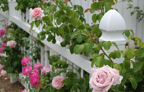 Підживлення троянд – які добрива використовувати, схема внесення