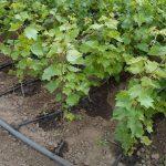 9409 Як підгодовувати виноград – схема внесення добрив і підгодівлі