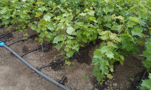 Як підгодовувати виноград – схема внесення добрив і підгодівлі