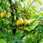 9420 Чим підгодовувати грушу, схема внесення добрив під грушу навесні, влітку і восени