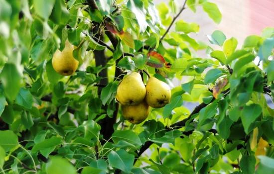 Чим підгодовувати грушу, схема внесення добрив під грушу навесні, влітку і восени