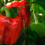 9431 Чим підгодовувати перець – схема підгодівлі і догляду за перцем