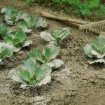 9439 Підживлення капусти – чим удобрювати капусту, схема підгодівлі