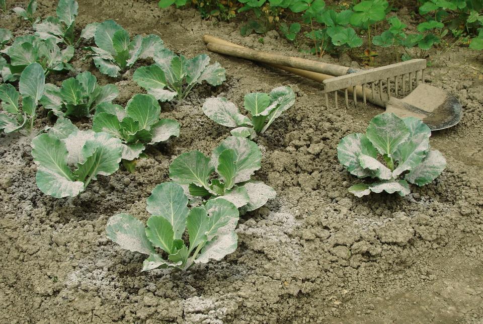 Підживлення капусти – чим удобрювати капусту, схема підгодівлі
