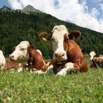 9509 Добриво з коров'яку – як приготувати і застосовувати, склад, властивості