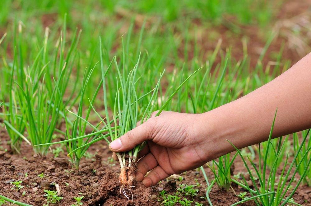 Обробка лука марганцівкою перед посадкою як розвести