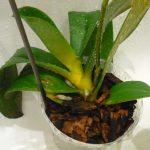 9856 Чому жовтіє листя у орхідеї що робити