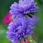 9883 Які квіти можна сіяти під зиму. Як і коли проводити посів