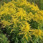 9921 Амброзія: де росте рослина-бур'ян і як від неї позбутися