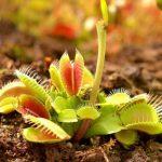 9928 Венерина мухоловка: опис рослини, догляд і розмноження в домашніх умовах