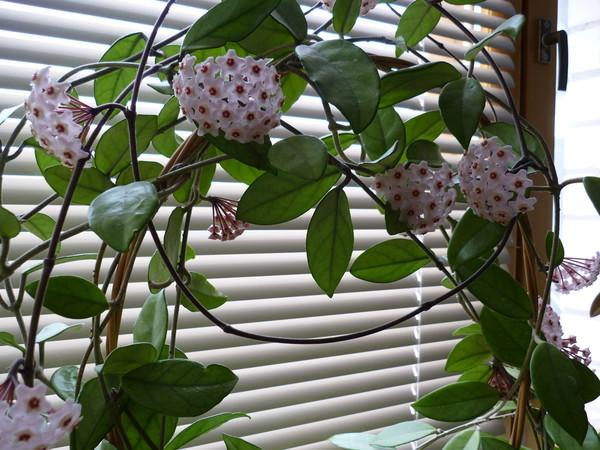 Що таке хойя і чи можна вирощувати цю квітку вдома