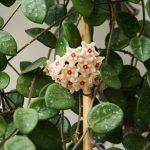 9936 Що таке хойя і чи можна вирощувати цю квітку вдома