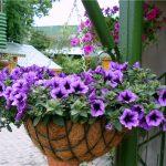 9941 Петунія – що це за рослина, як виглядає і якого догляду потребує?