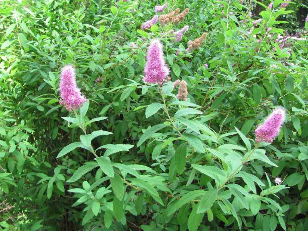 Опис квітки спірея, її основні сорти і різновиди