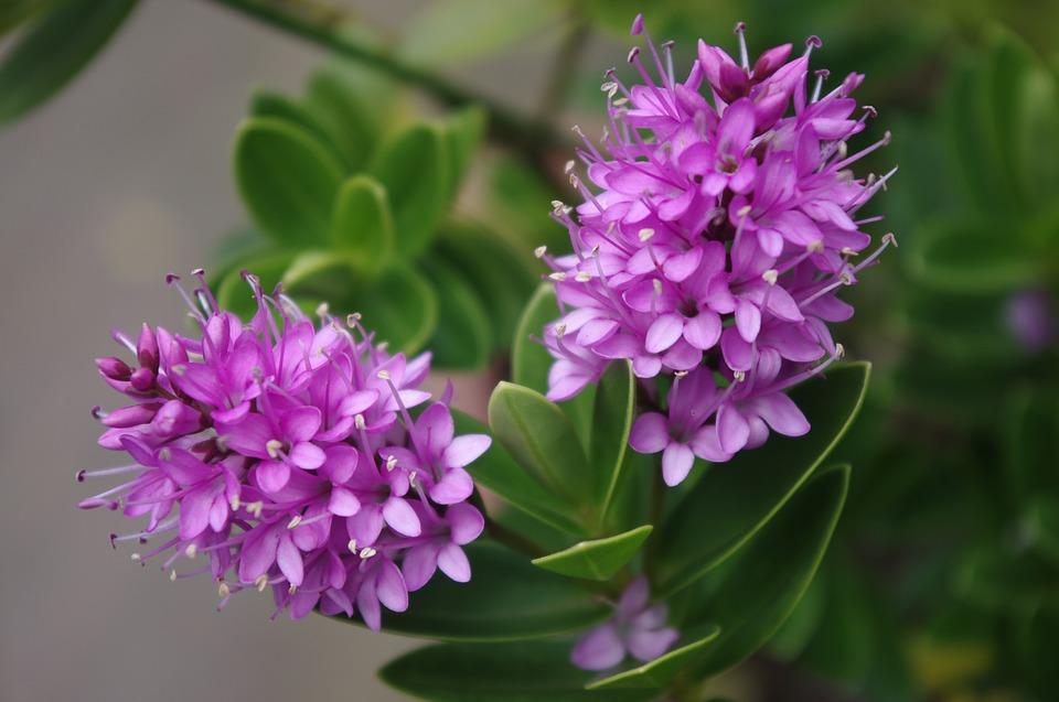 9964 Hebe: опис квітки, особливості вирощування та догляду