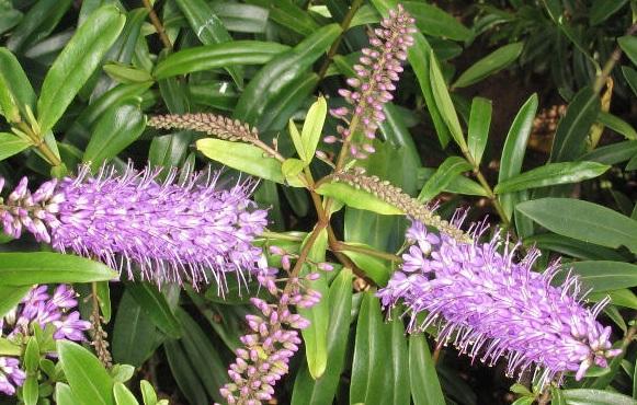 Hebe: опис квітки, особливості вирощування та догляду