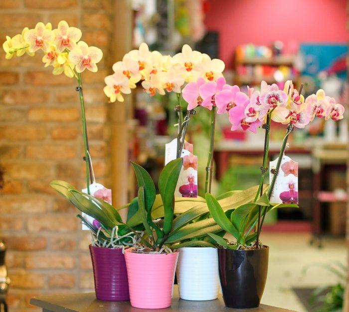 Догляд за орхідеєю фаленопсис в домашніх умовах
