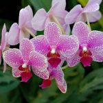 9974 Догляд за орхідеєю фаленопсис в домашніх умовах