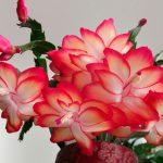 9984 Догляд за кімнатною квіткою декабристом в домашніх умовах
