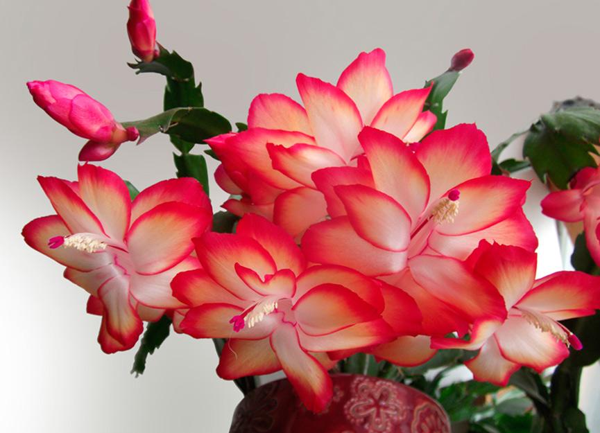 Догляд за кімнатною квіткою декабристом в домашніх умовах